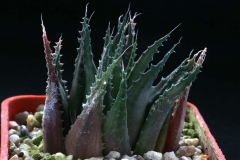 Haworthia chlorocantha v.subglauca [Mossel Bay] ex Cok Ham