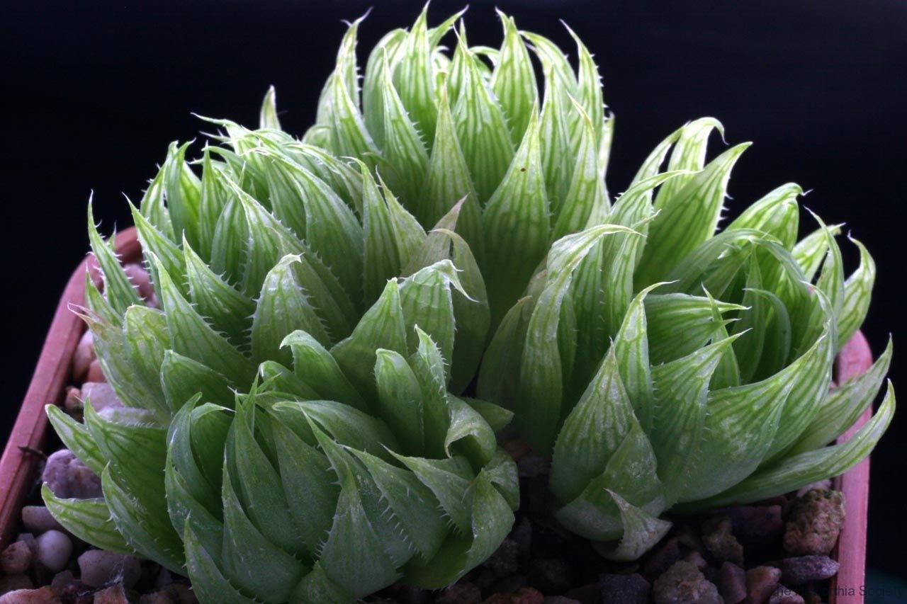 Haworthia cooperi v.gracilis SS1027 Ham