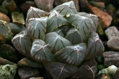 Haworthia cooperi v.truncata [Bolo Reserve] PE0177 Ham
