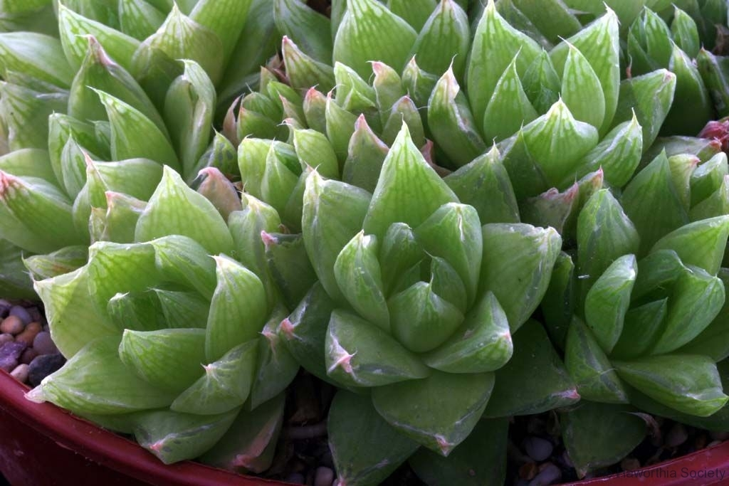 Haworthia cymbiformis Ham1295 acquired in 1997; the most common one!