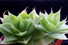 Haworthia cymbiformis SPT930(JRB1375) Acquired in 2002 Ham