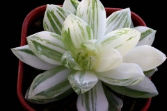 Haworthia cymbiformis 'Yu-Hung Luk' ISI 94-28 (Hummel selection; HBG 39551, origin unknown)