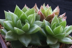 Haworthia cymbiformis (blue form) Ham1285 Acquired in 1997
