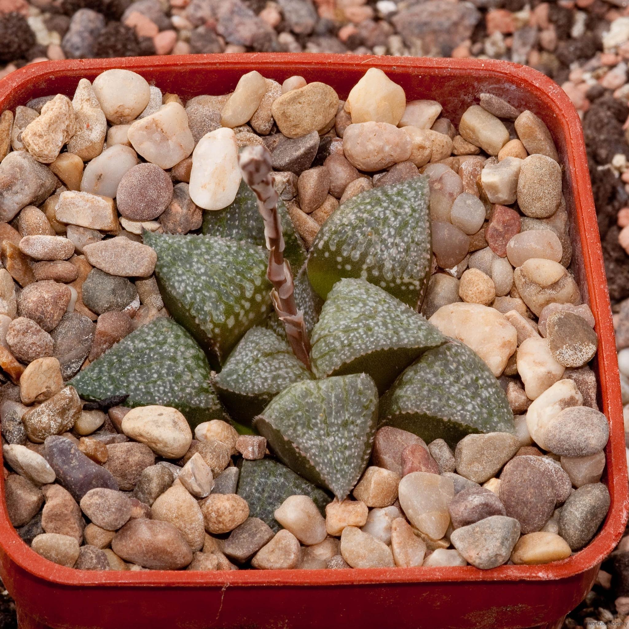 Haworthia emelyae var. emelyae BH0236 S. Oudtshoorn George