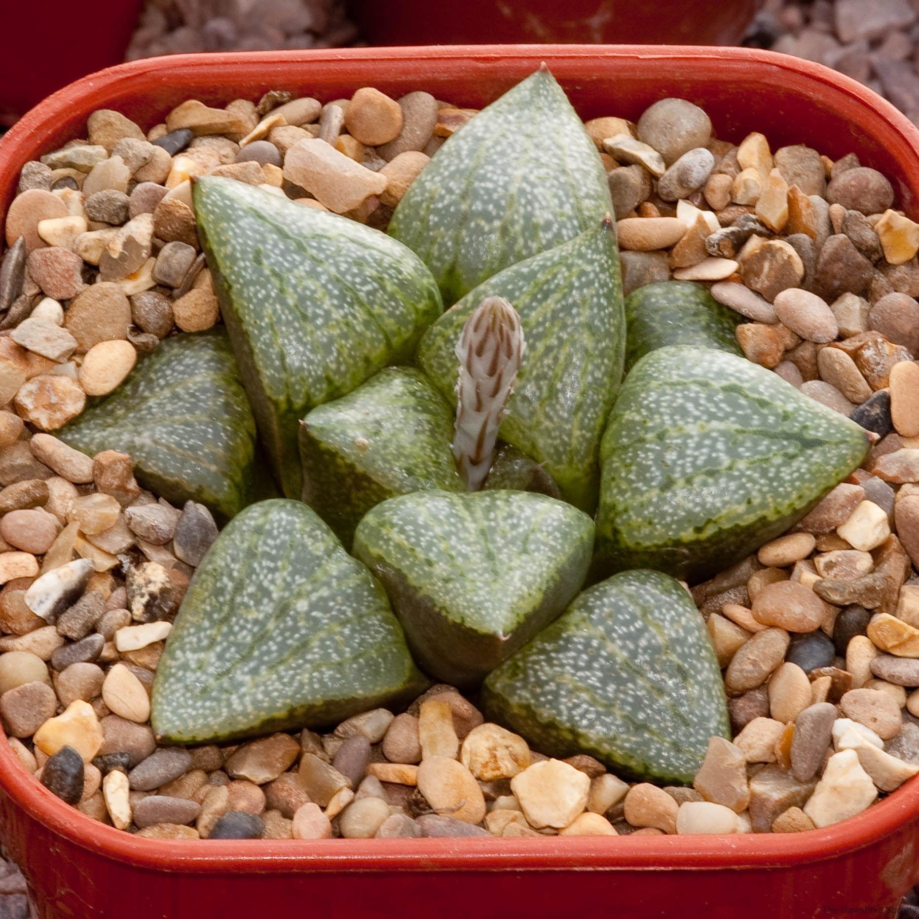 Haworthia emelyae var. emelyae BH0560 GM267 Kamannaissedam S of Dysseldorp