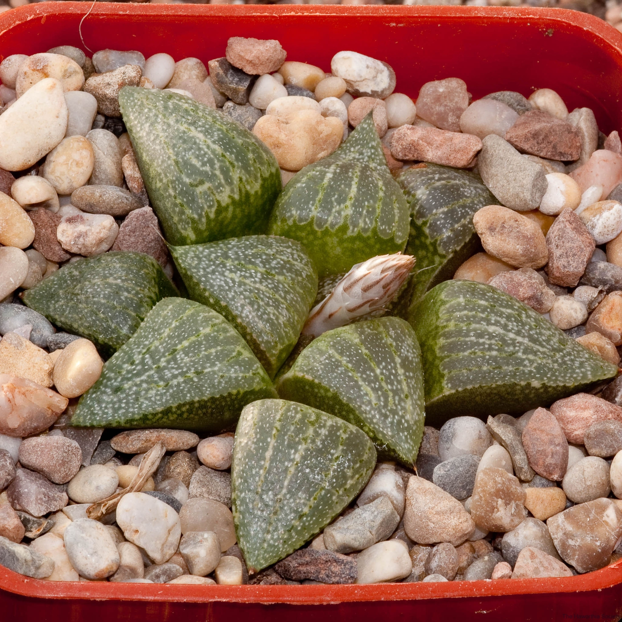 Haworthia emelyae var. emelyae BH0664 GM257 Rooibergpass