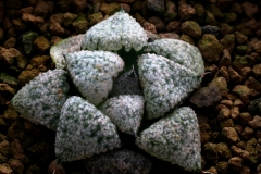 Haworthia emelyae (Black form) Ham637