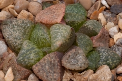 Haworthia emelyae var. emelyae BH