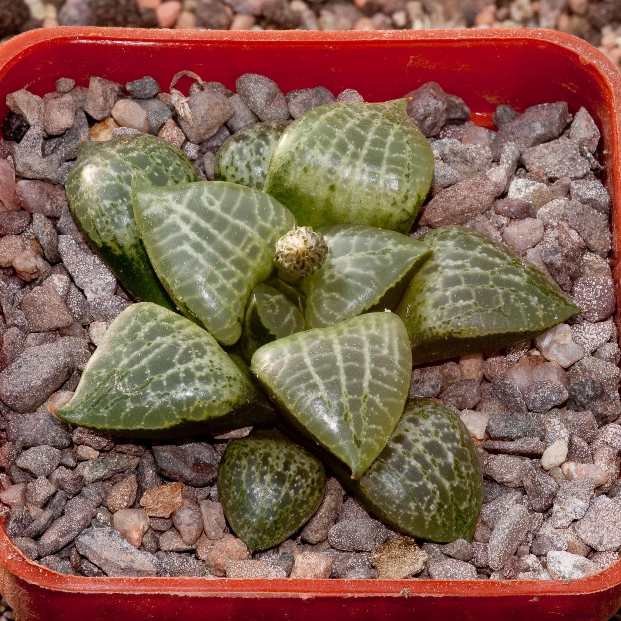 Haworthia emelyae var. comptoniana BH0665 ex Marlon Machado (leaf propagation)