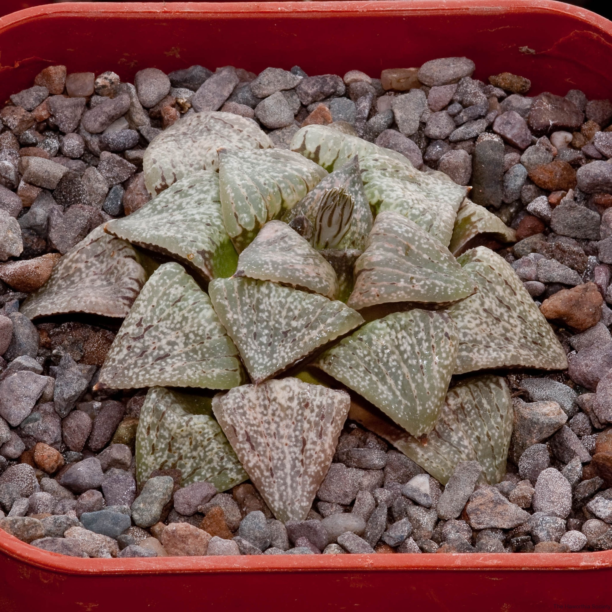 Haworthia picta 'Maze Junior' BH0574 BCSS National Ex Mr Onkuwa