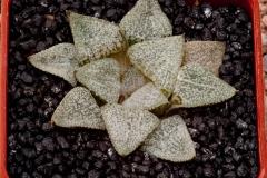 Haworthia emelyae picta