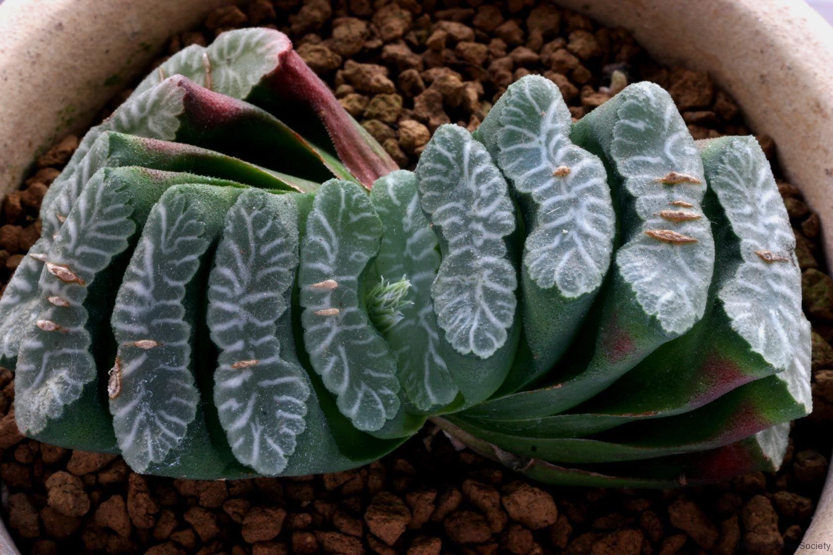 Haworthia truncata (M16) Ham3335 ex Japan