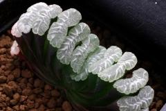 Haworthia truncata (Large window with markings) Ham1040 ex Japan