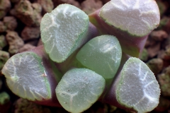 Haworthia truncata v.maughanii Ham2346 ex Japan