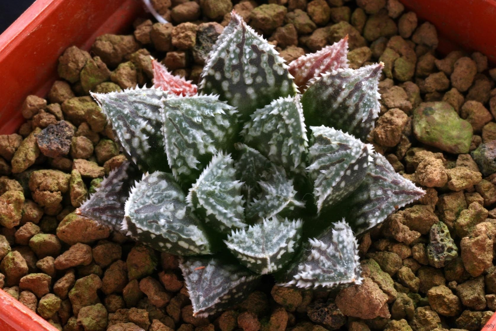 Haworthia 'Kegani' x emelyae v.major Ham2584 My hybrid