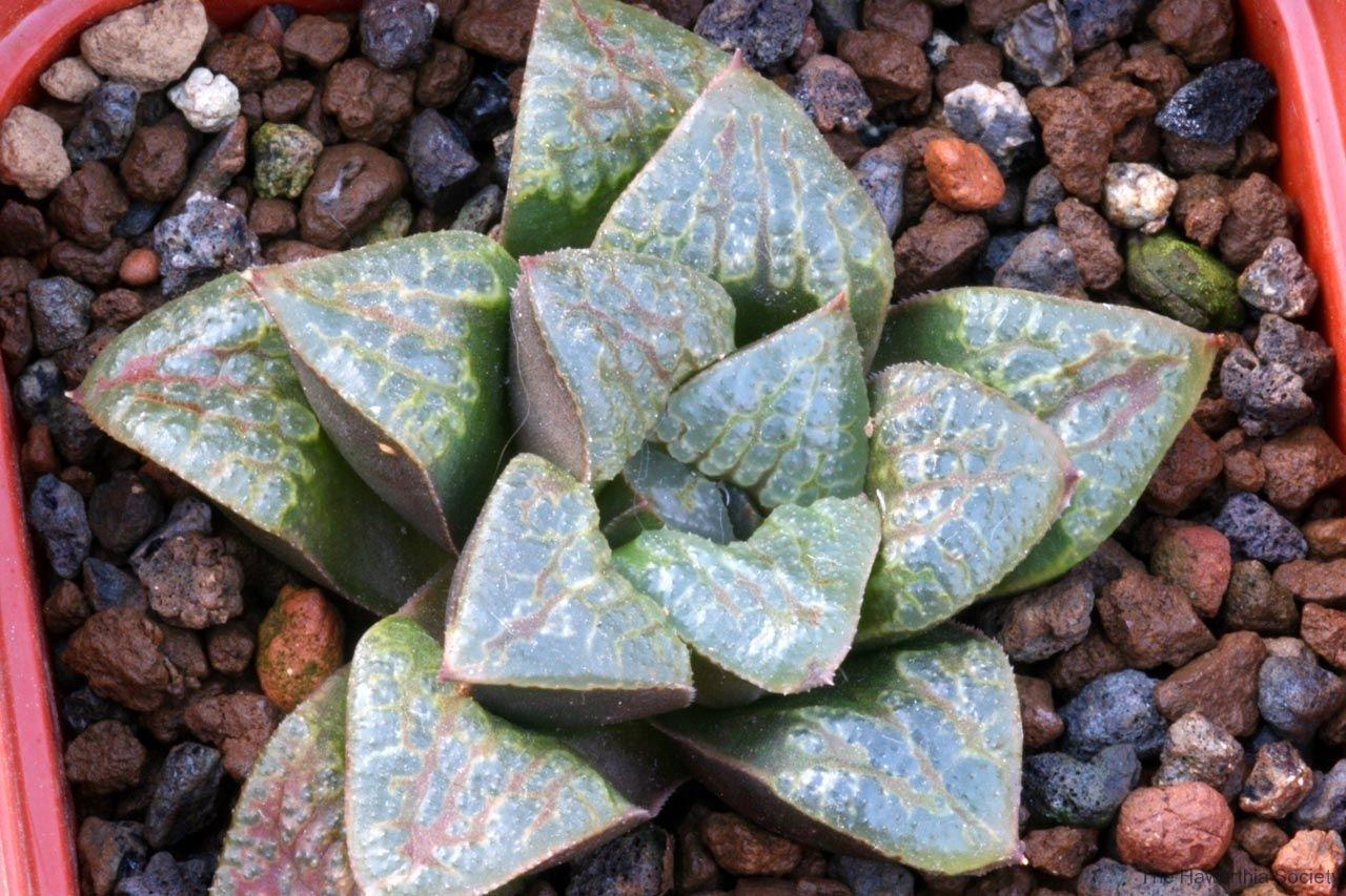 Haworthia emelyae v.comptoniana x (springbokvlakensis x emelyae v.comptoniana) Ham2861 My own hybrid