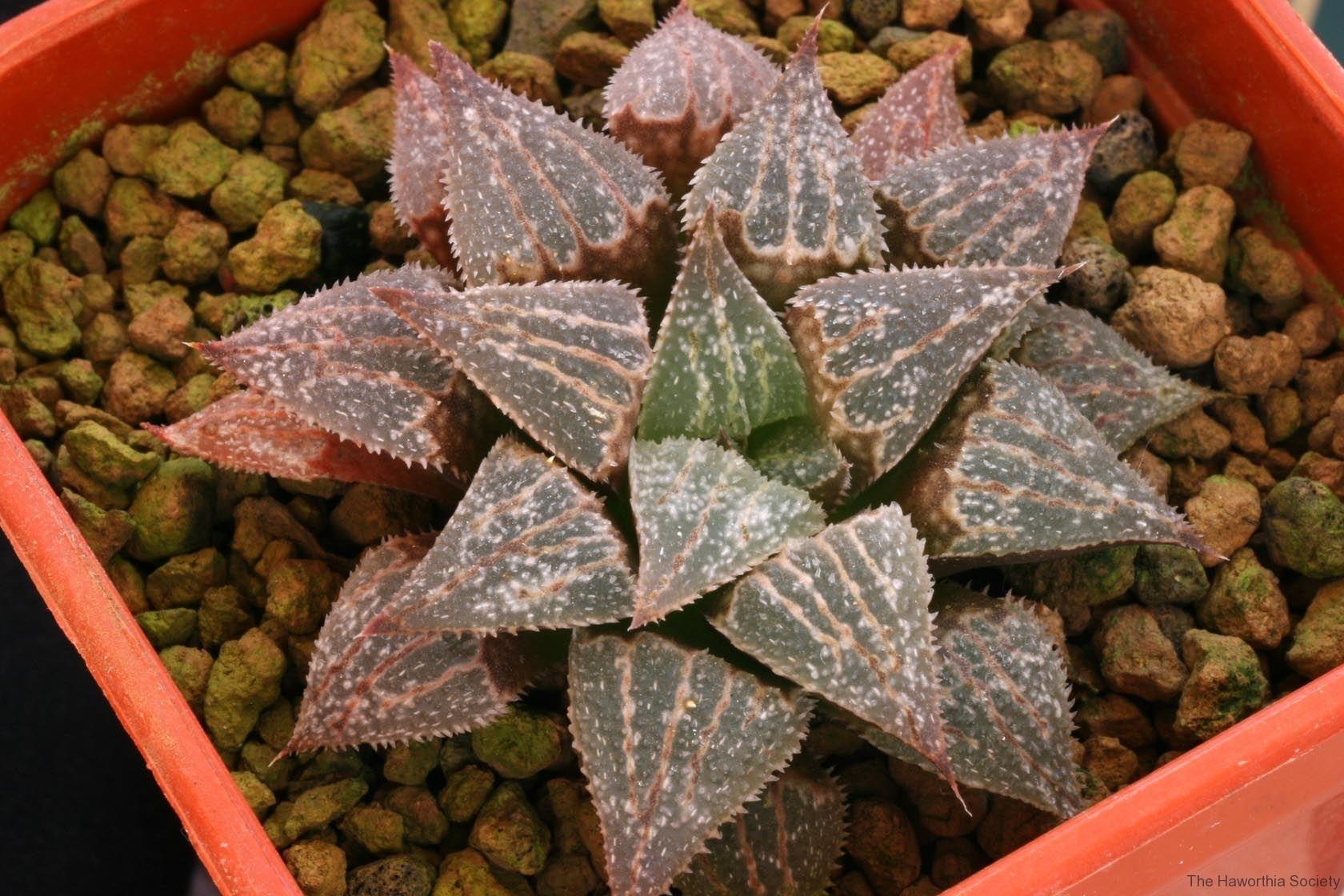 Haworthia emelyae v.major Hybrid Ham My own hybrid; In summer conditions