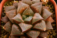 Haworthia 'Chocolate' x 'Ruby Star' Ham2576 (another clone) My own hybrid; In summer conditions