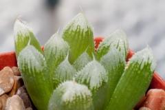 Haworthia Green Gem ex Kobayashi
