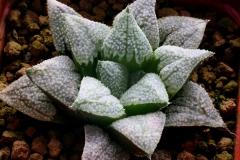 Haworthia Yumedono x cv.(Ham1534) Ham2590 My own hybrid