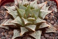 Haworthia (comptoniana x serrata) x H.pygmaea 'argenteo-maculosa' BH0245 Ex. SH List no. 189, 2000 – offsetting