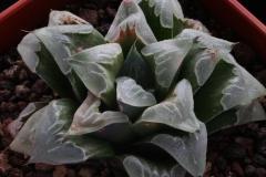 Haworthia cv. Ham1534 ex Japan
