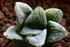 Haworthia emelyae v.comptoniana x truncata Ham2617 My hybrid made in 2000