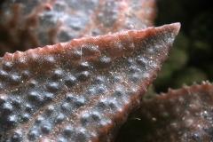 Haworthia emelyae x koelmaniorum (Close-up) Ham