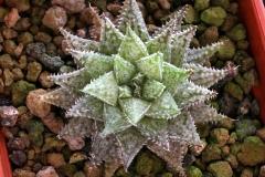 Haworthia herbacea x emelyae Ham2875 (summer) My own hybrid; In summer condition