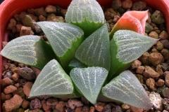 Haworthia magnifica cv. x 'Arthur Wildbur' Ham2865 My own hybrid