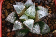 Haworthia mirabilis v.badia x emelyae v.major Ham3275 (summer) This photo shows the plant growing in summer.