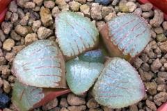 Haworthia (springbokvlakensis x emelyae v.comptoniana) x springbokvlakensis Ham 3267 My own hybrid
