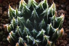 Haworthia truncata Hybrid x arachnoidea v.scabrispina(gigas) HAM 2001