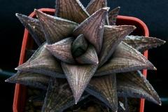 Haworthia venosa Hybrid ex Dorothy Minors