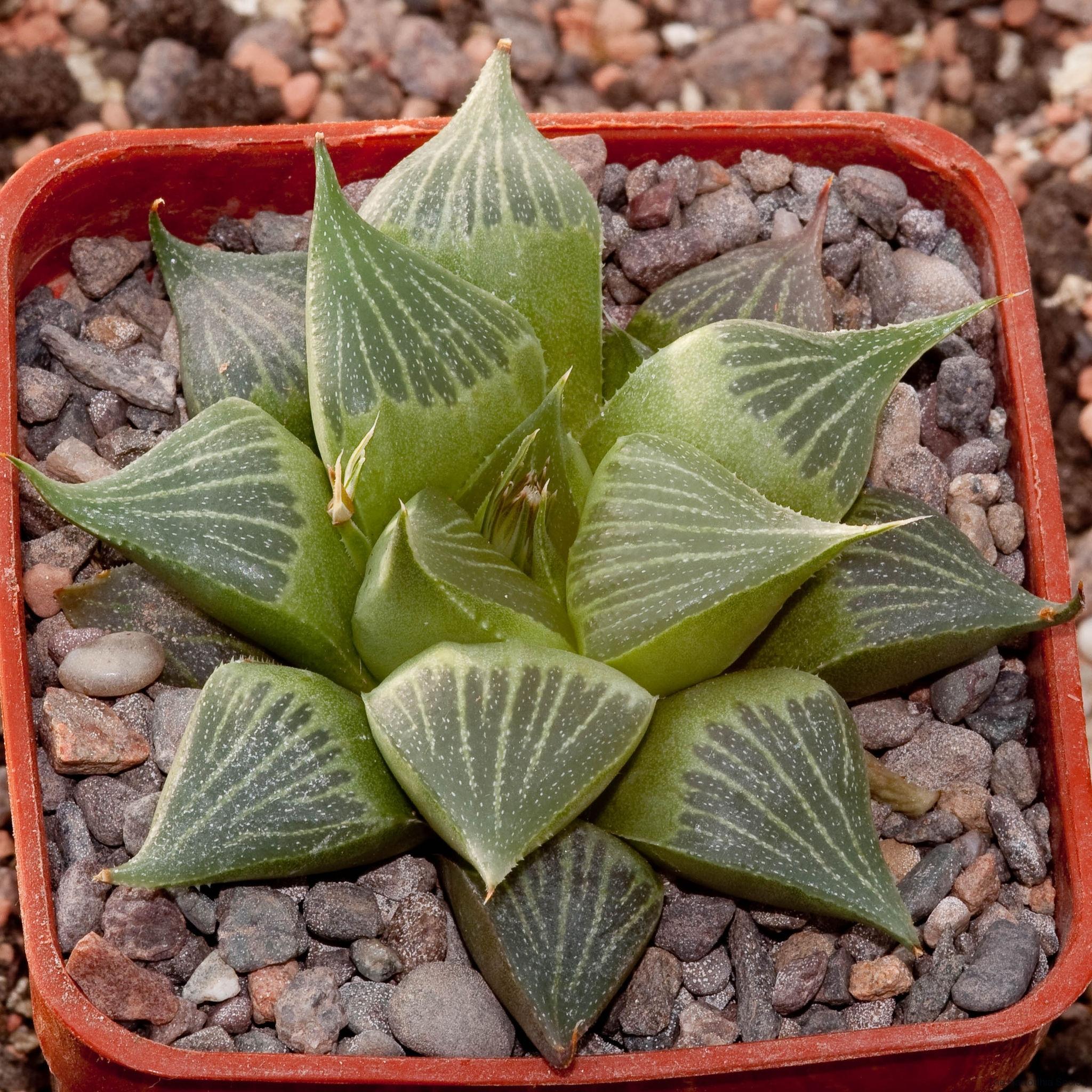 Haworthia magnifica v. acuminata BH0060 Ex. Cocozza CCO 100