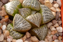 Haworthia magnifica var. splendens BH0585 Ex Cactus Art Std form West of Albertina