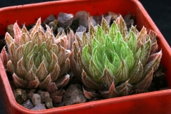 Haworthia marumiana [Cave Moutain] Special form ex Will