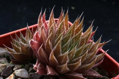Haworthia marumiana ex Willy Ham2159