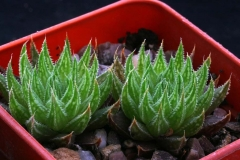 Haworthia marumiana ex Willy
