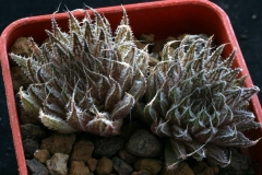 Haworthia marumiana v.archeri STP1026 ex Peter Bent in 2000