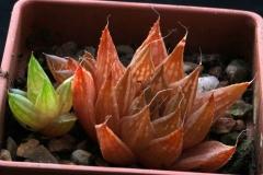 Haworthia marumiana v.reddii ex Willy