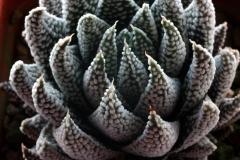 Haworthia minima Ham986 [Swellemdam] ex Woodside Nursery 1996