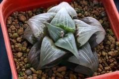 Haworthia mirabilis v.badia [N.W. of Napier] Ham254 DB01168.16
