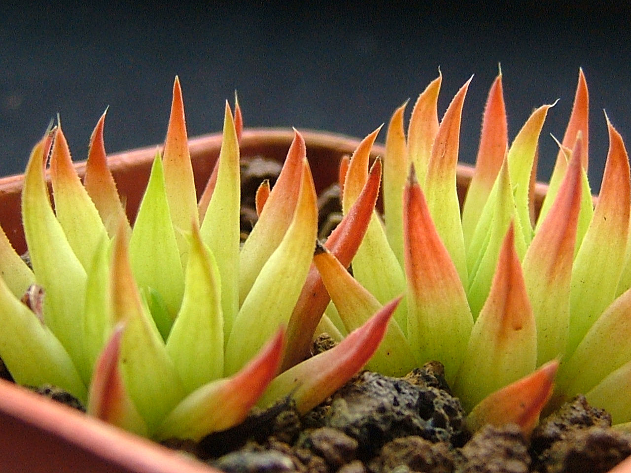 Haworthia monticola v.asema Ham435 Acquired this in Hong Kong in 1996