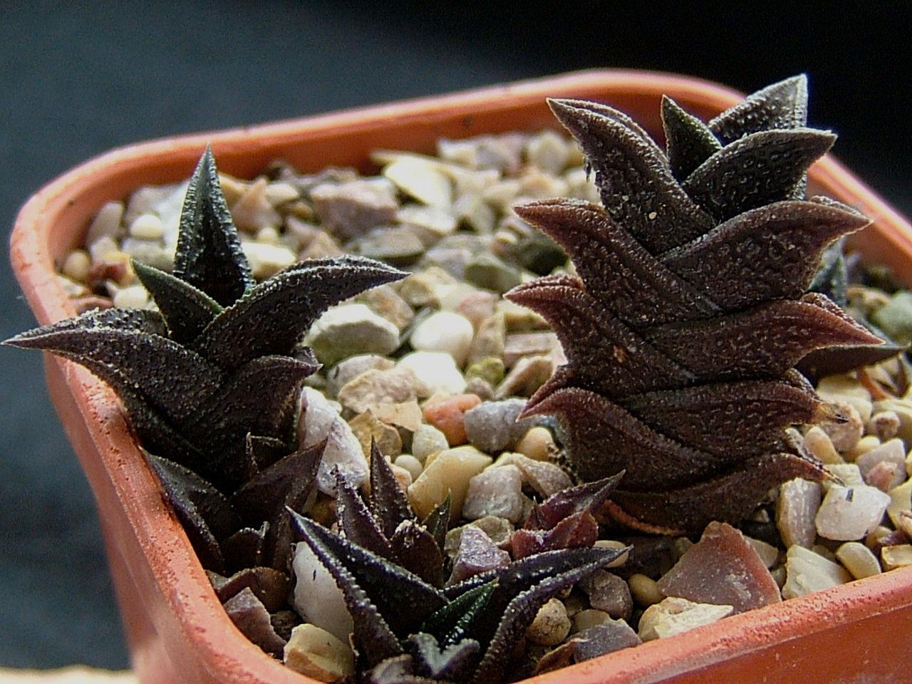 Haworthia nigra - typical form