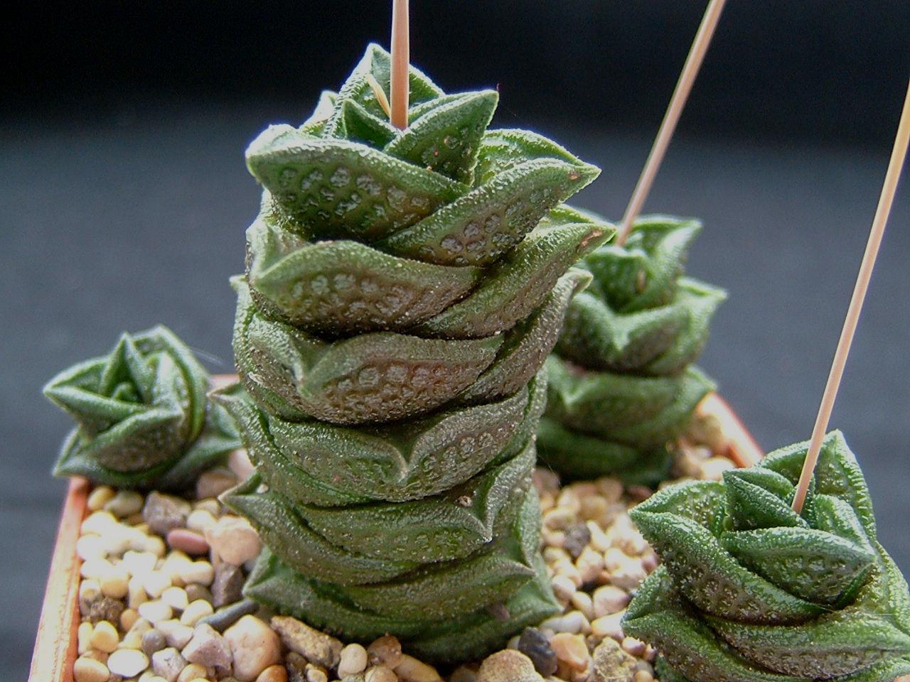 Haworthia nigra(diversifolia) [Beauford West] ex J.Henshaw 2000