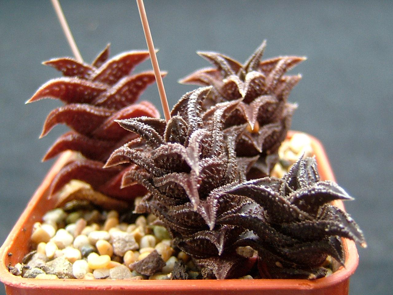 Haworthia nigra(schmidtiana) SPT793 ex P.Bent 2002