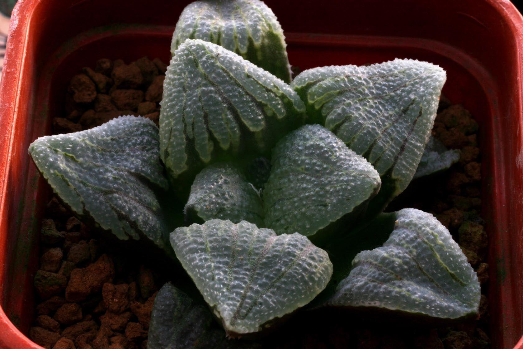Haworthia pygmaea YO1106 [Moerasriver, S.Oudtshoorn] ex STC