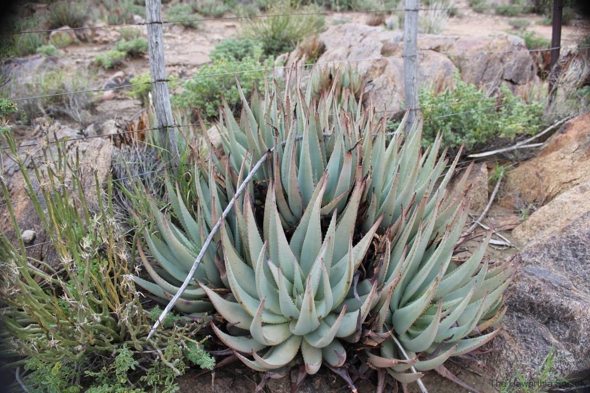 Aloe claviflora, Upington (1)