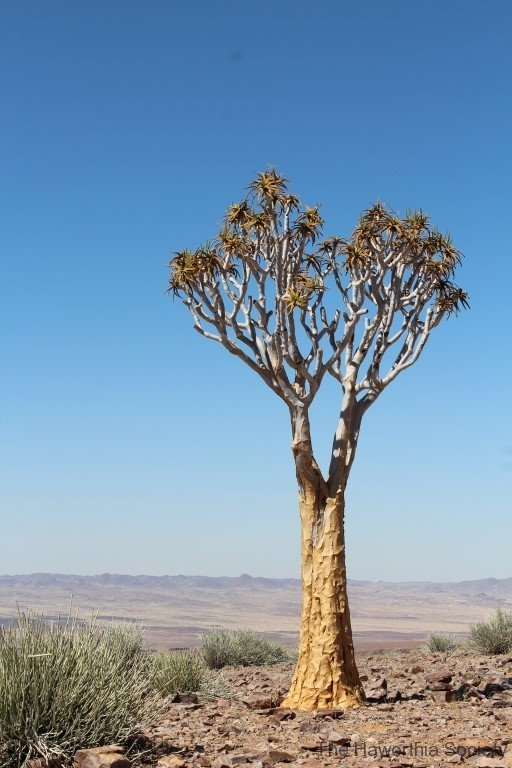 Aloe dichotoma, Fish River Canyon (1)